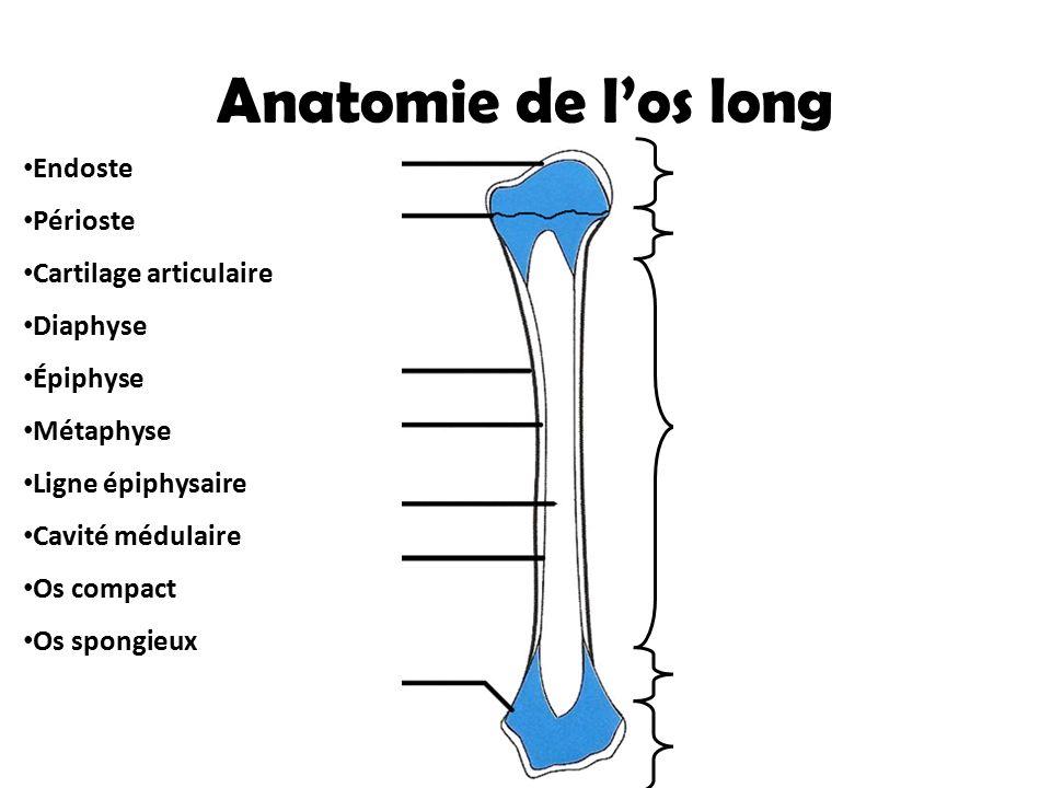 Anatomie de l'os long Cartilage articulaire Endoste Périoste