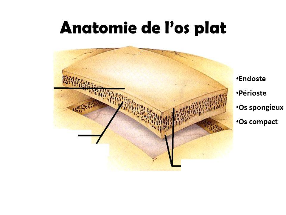 Anatomie de l'os plat Endoste Périoste Périoste Os spongieux