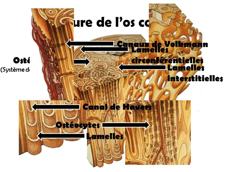 Structure de l'os compact