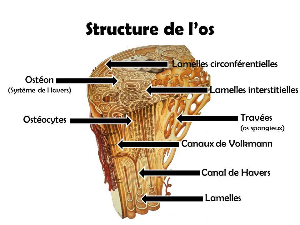 Structure de l'os Lamelles circonférentielles Ostéon