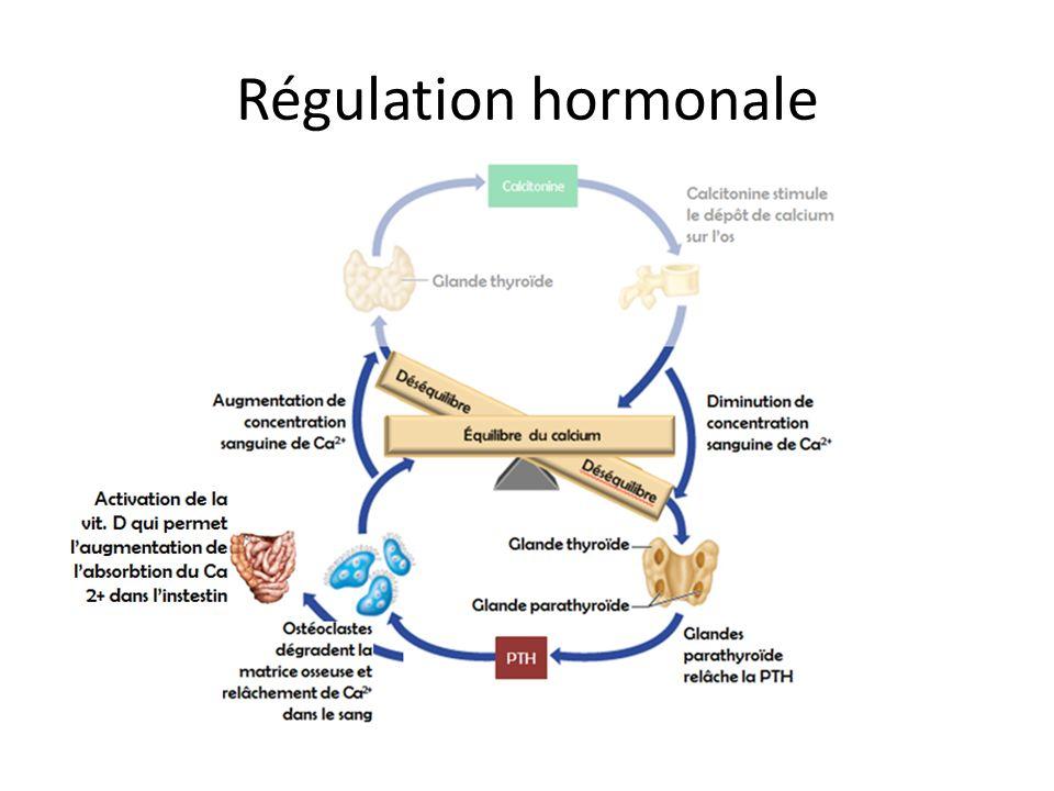 Régulation hormonale Effet de la calcitonine à élucider