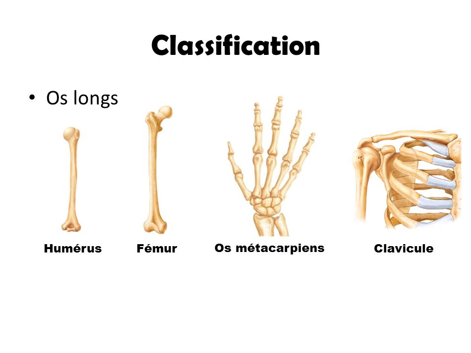 Classification Os longs Humérus Fémur Os métacarpiens Clavicule