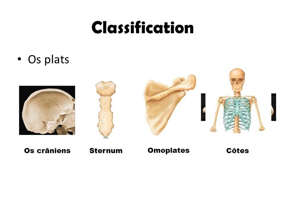Classification Os plats Os crâniens Sternum Omoplates Côtes