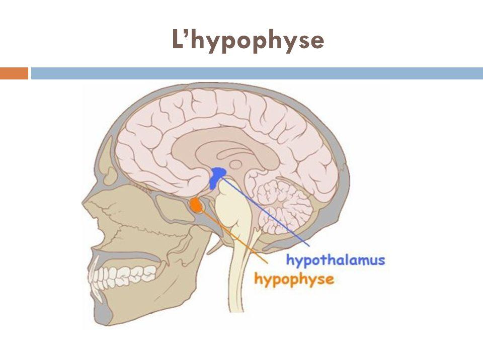 L'hypophyse