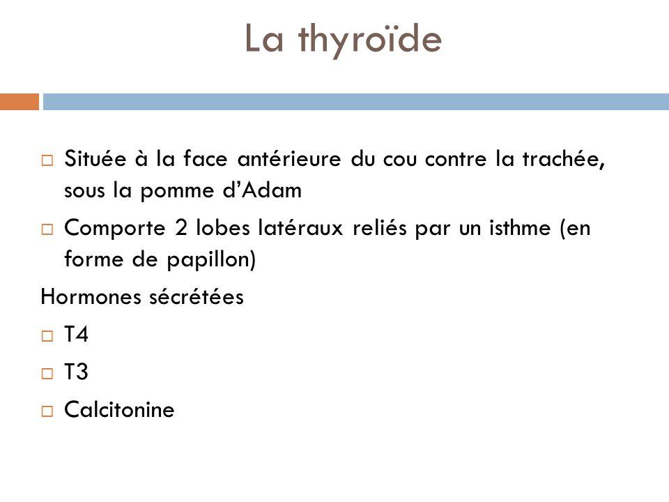 La thyroïde Située à la face antérieure du cou contre la trachée, sous la pomme d'Adam.