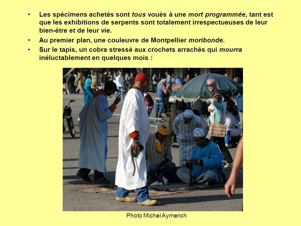 Au premier plan, une couleuvre de Montpellier moribonde.