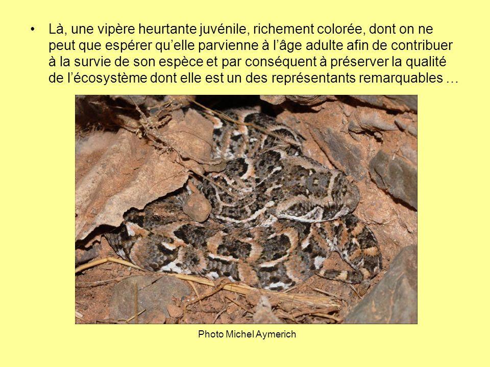 Là, une vipère heurtante juvénile, richement colorée, dont on ne peut que espérer qu'elle parvienne à l'âge adulte afin de contribuer à la survie de son espèce et par conséquent à préserver la qualité de l'écosystème dont elle est un des représentants remarquables …