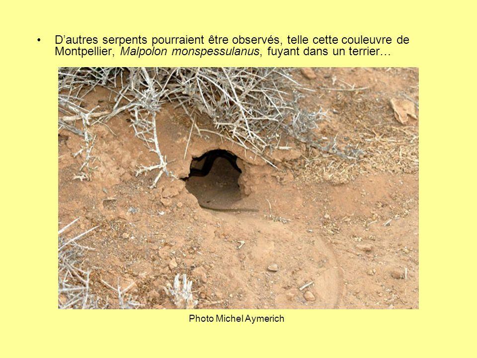 D'autres serpents pourraient être observés, telle cette couleuvre de Montpellier, Malpolon monspessulanus, fuyant dans un terrier…
