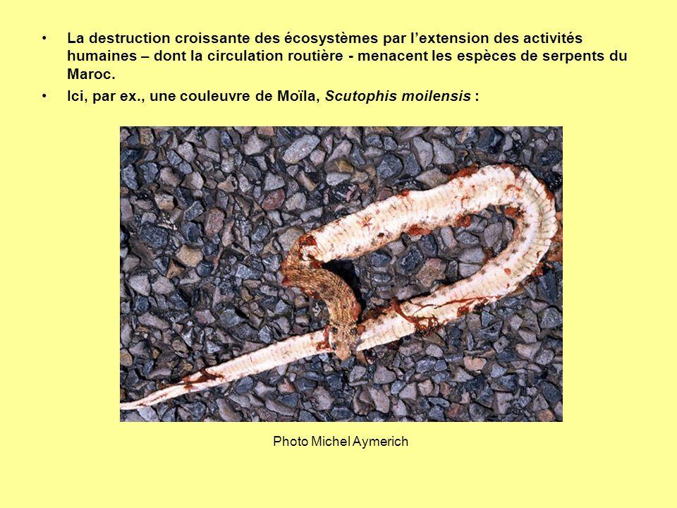 Ici, par ex., une couleuvre de Moïla, Scutophis moilensis :