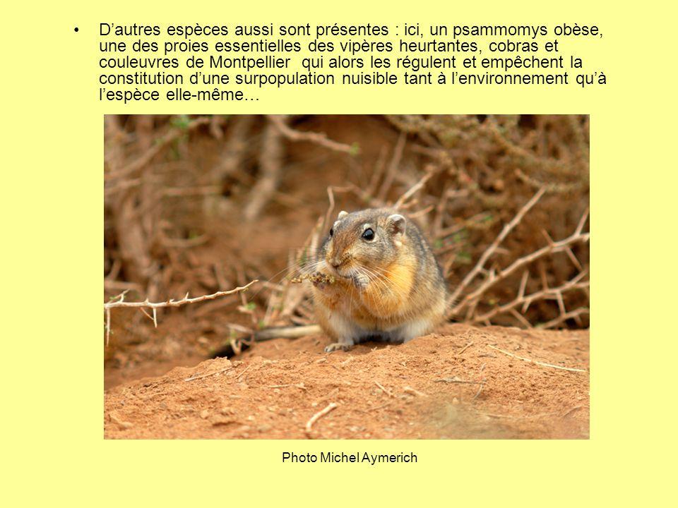 D'autres espèces aussi sont présentes : ici, un psammomys obèse, une des proies essentielles des vipères heurtantes, cobras et couleuvres de Montpellier qui alors les régulent et empêchent la constitution d'une surpopulation nuisible tant à l'environnement qu'à l'espèce elle-même…