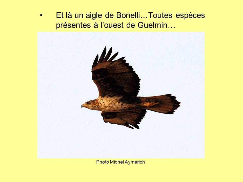 Et là un aigle de Bonelli…Toutes espèces présentes à l'ouest de Guelmin…