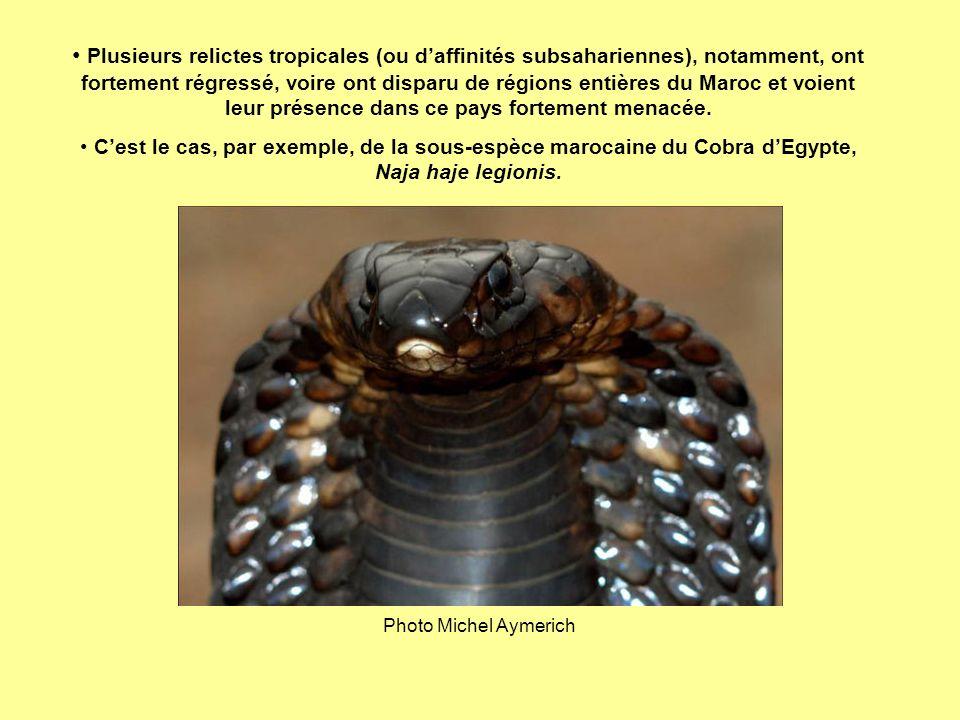 Plusieurs relictes tropicales (ou d'affinités subsahariennes), notamment, ont fortement régressé, voire ont disparu de régions entières du Maroc et voient leur présence dans ce pays fortement menacée.