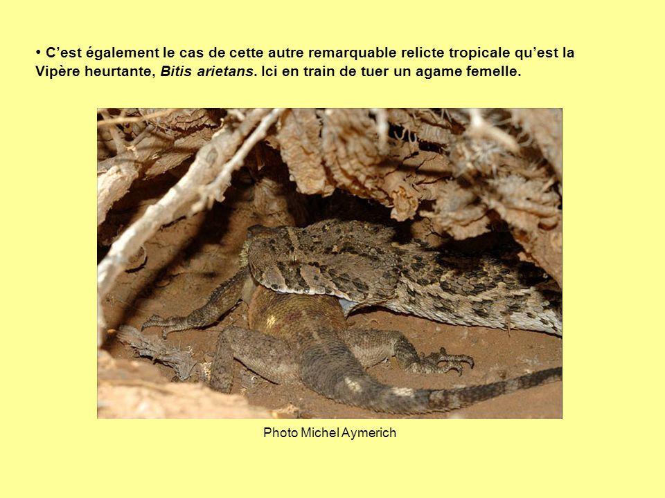 C'est également le cas de cette autre remarquable relicte tropicale qu'est la Vipère heurtante, Bitis arietans. Ici en train de tuer un agame femelle.