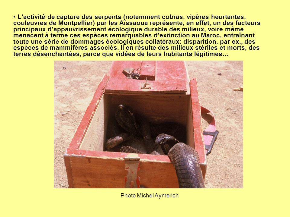 L'activité de capture des serpents (notamment cobras, vipères heurtantes, couleuvres de Montpellier) par les Aïssaoua représente, en effet, un des facteurs principaux d'appauvrissement écologique durable des milieux, voire même menacent à terme ces espèces remarquables d'extinction au Maroc, entraînant toute une série de dommages écologiques collatéraux: disparition, par ex., des espèces de mammifères associés. Il en résulte des milieux stériles et morts, des terres désenchantées, parce que vidées de leurs habitants légitimes…