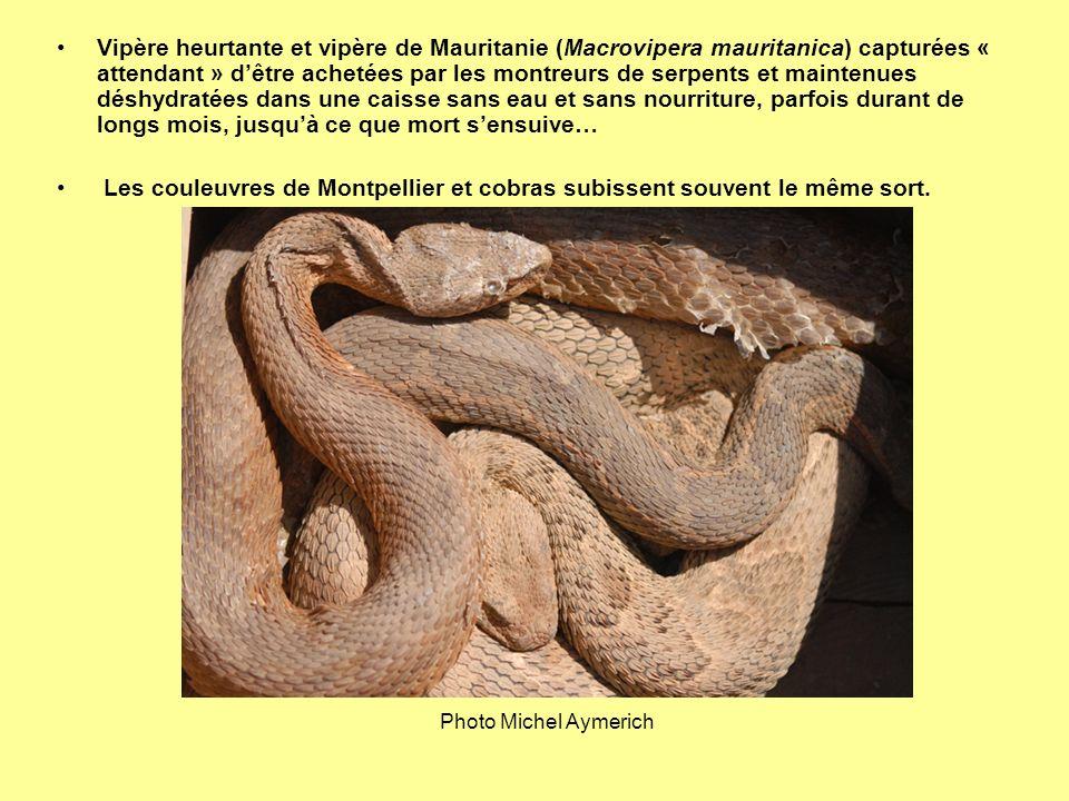 Vipère heurtante et vipère de Mauritanie (Macrovipera mauritanica) capturées « attendant » d'être achetées par les montreurs de serpents et maintenues déshydratées dans une caisse sans eau et sans nourriture, parfois durant de longs mois, jusqu'à ce que mort s'ensuive…