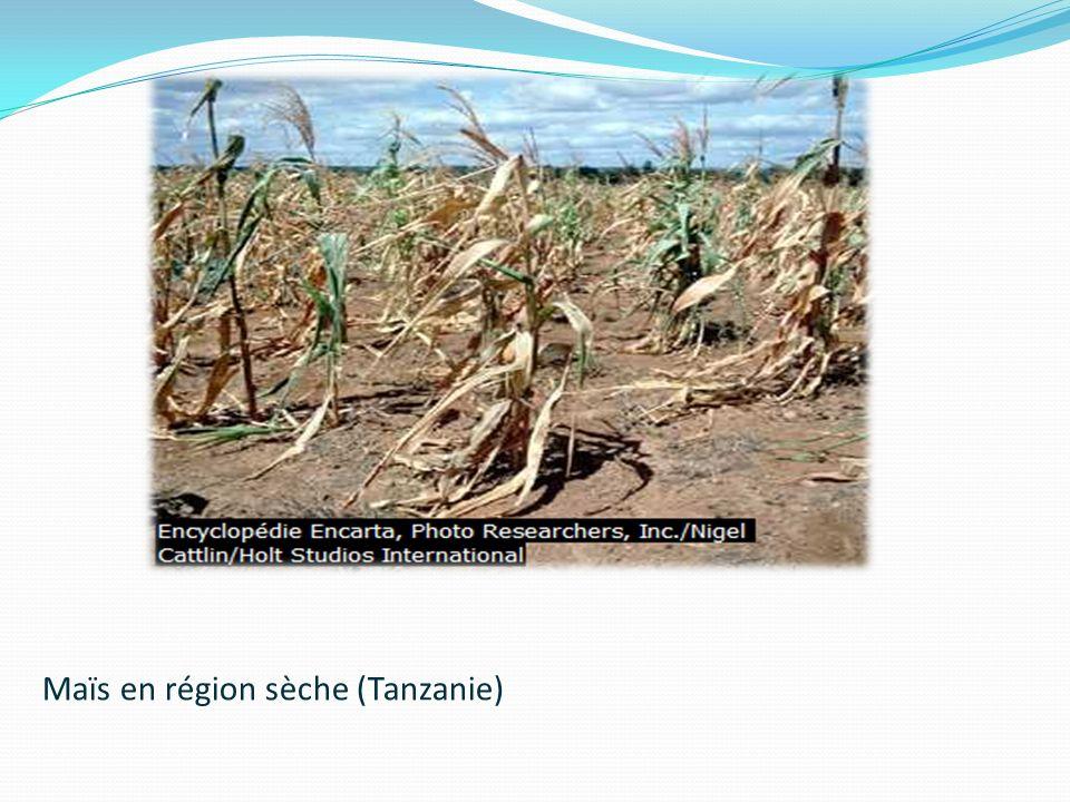 Maïs en région sèche (Tanzanie)