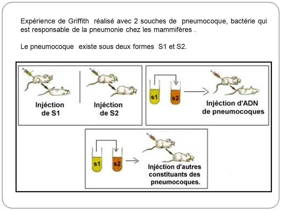 Expérience de Griffith réalisé avec 2 souches de pneumocoque, bactérie qui est responsable de la pneumonie chez les mammifères .