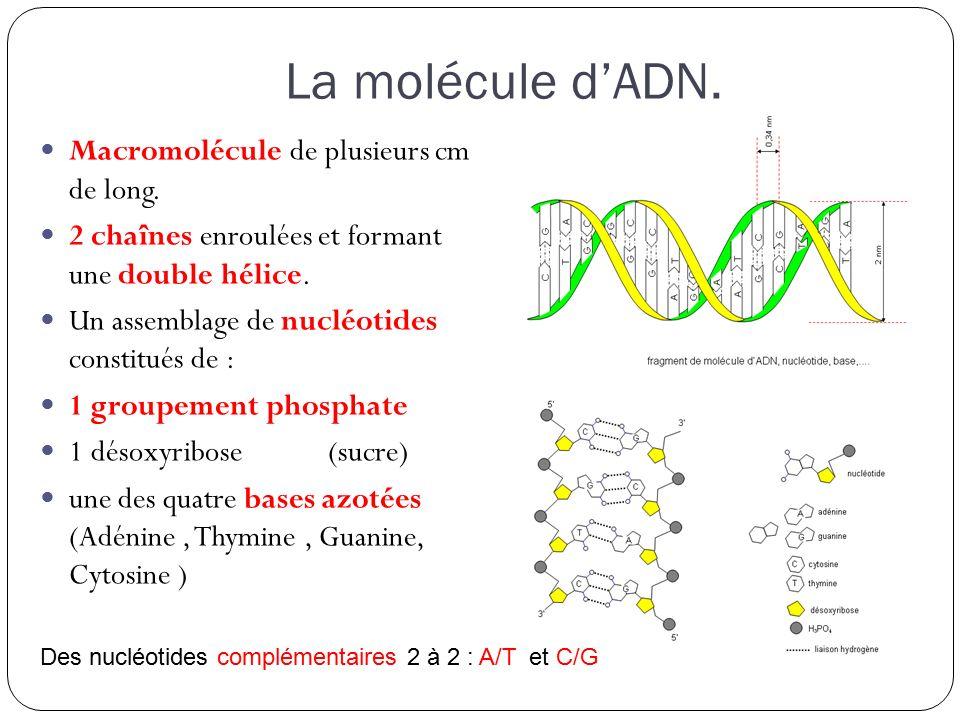 La molécule d'ADN. Macromolécule de plusieurs cm de long.