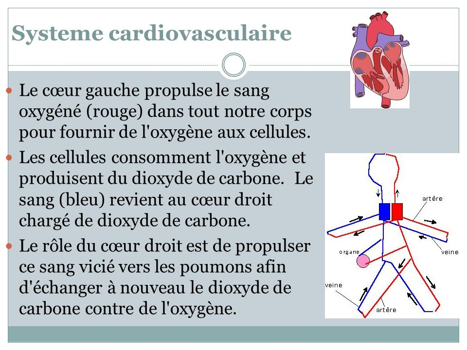 Systeme cardiovasculaire