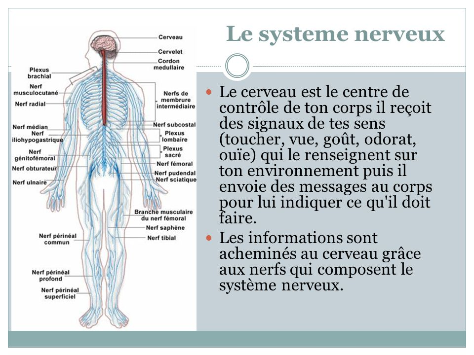 Le systeme nerveux