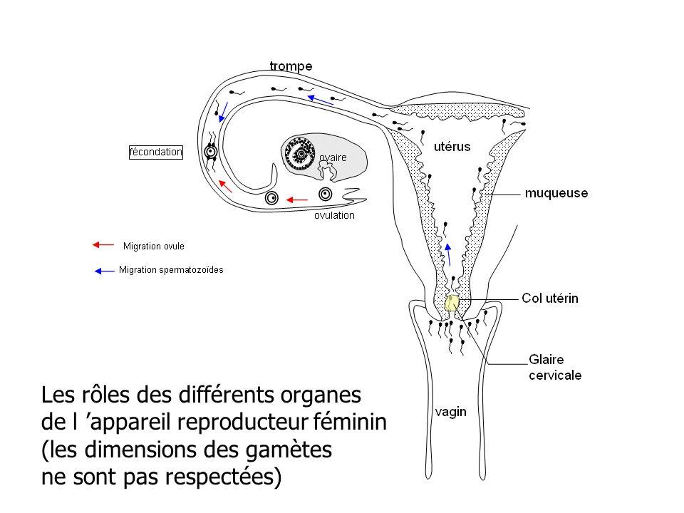 Les rôles des différents organes