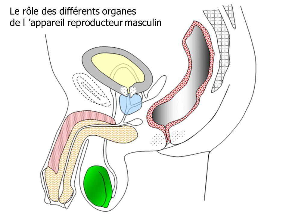 Le rôle des différents organes
