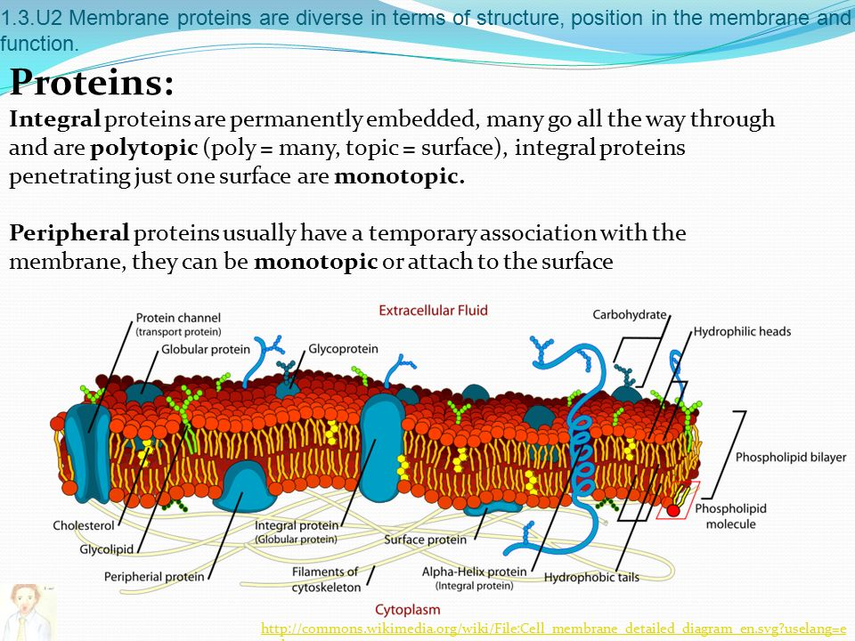 1.3.U2 Membrane proteins are diverse in terms of structure, position in the membrane and function.