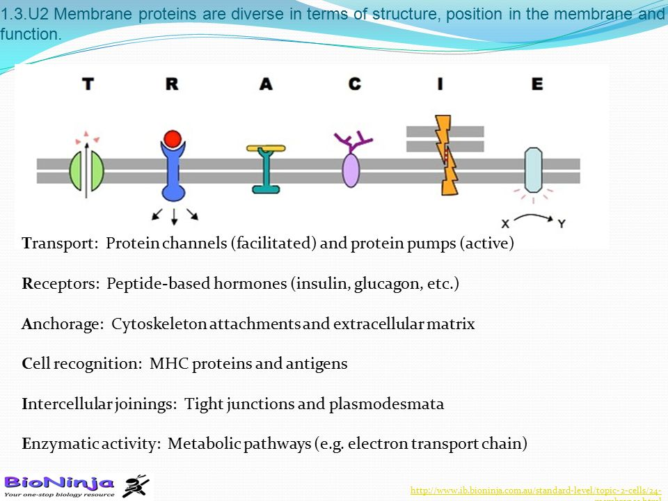 Transport: Protein channels (facilitated) and protein pumps (active)