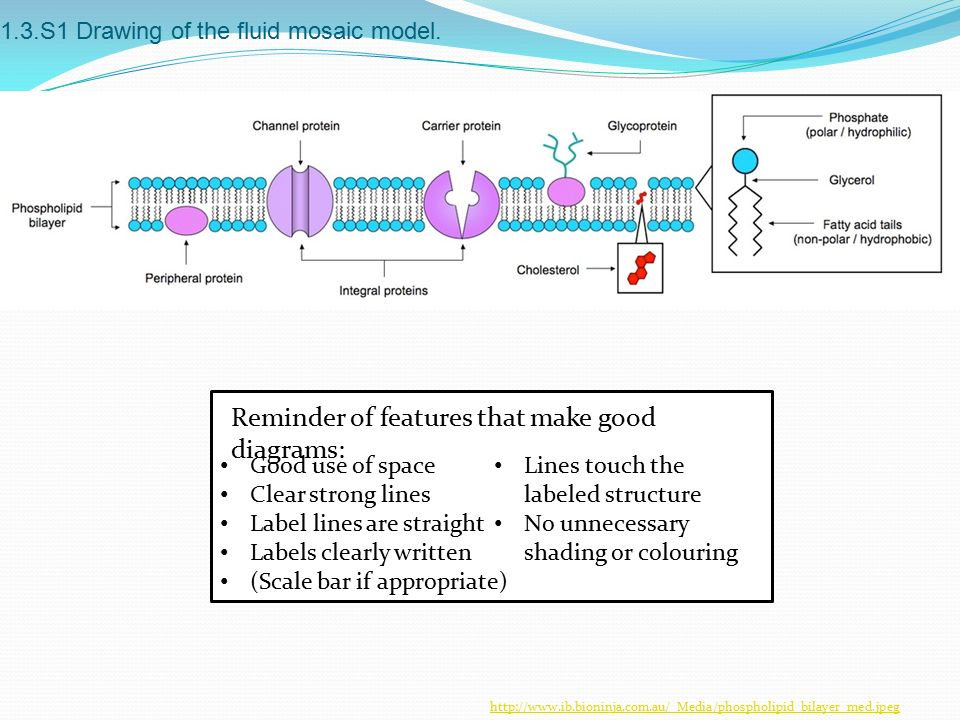1.3.S1 Drawing of the fluid mosaic model.