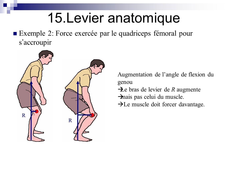 Bras de levier muscle