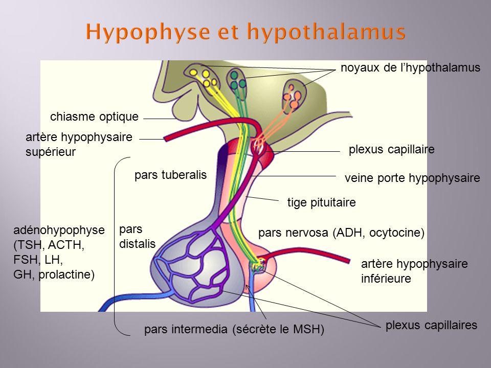 Berühmt Lage Der Hypophyse Ideen - Menschliche Anatomie Bilder ...