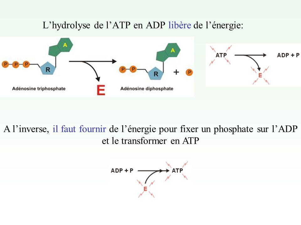 L'hydrolyse de l'ATP en ADP libère de l'énergie:
