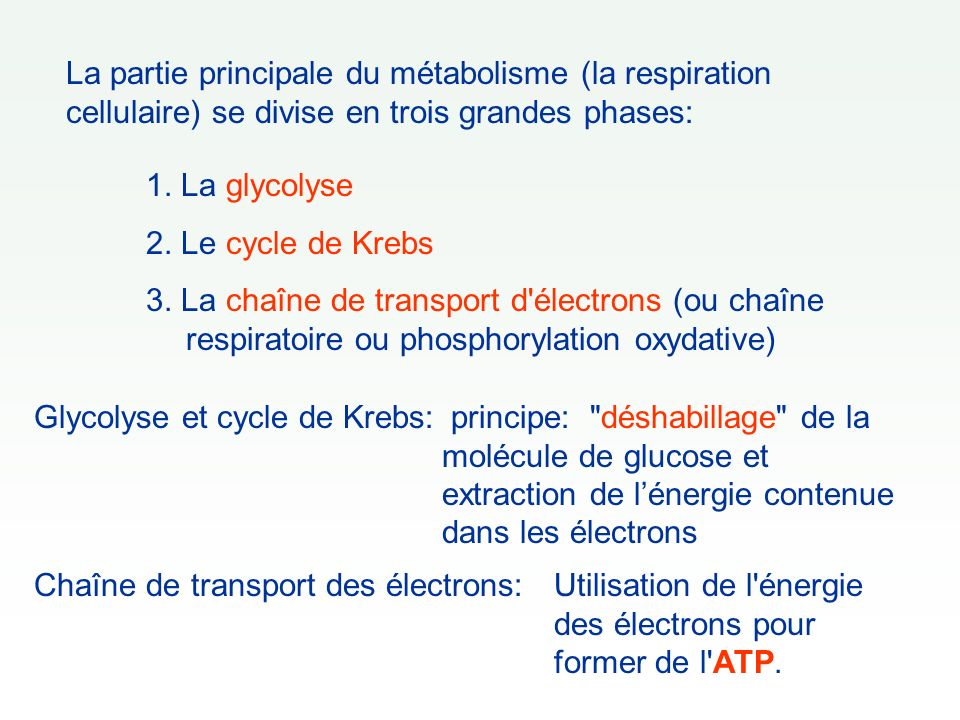 La partie principale du métabolisme (la respiration cellulaire) se divise en trois grandes phases: