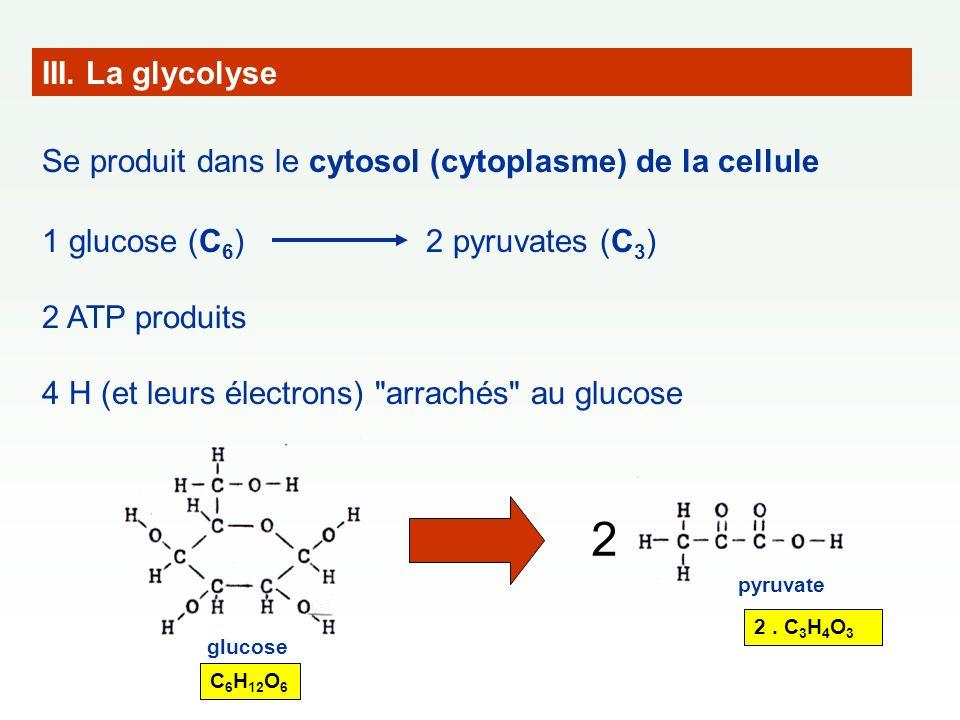 III. La glycolyse Se produit dans le cytosol (cytoplasme) de la cellule. 1 glucose (C6) 2 pyruvates (C3)