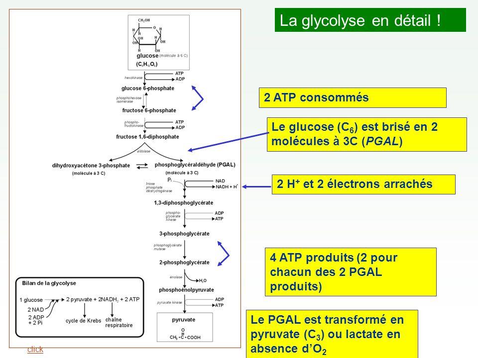 La glycolyse en détail ! 2 ATP consommés