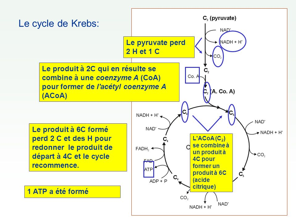 Le cycle de Krebs: Le pyruvate perd 2 H et 1 C