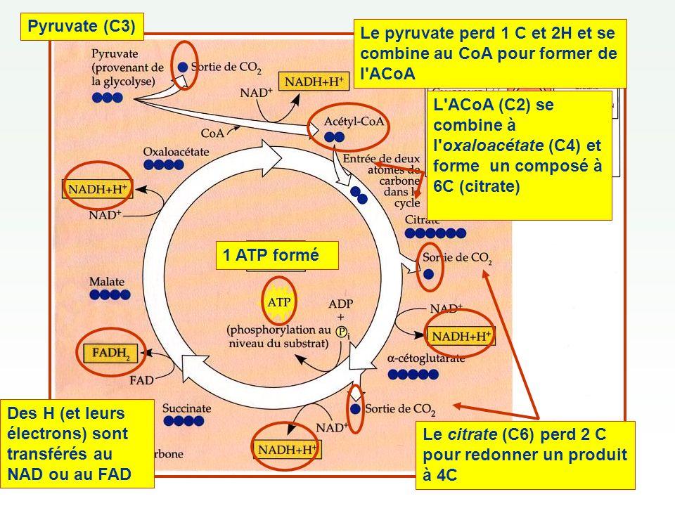 Pyruvate (C3) L ACoA (C2) se combine à l oxaloacétate (C4) et forme un composé à 6C (citrate)