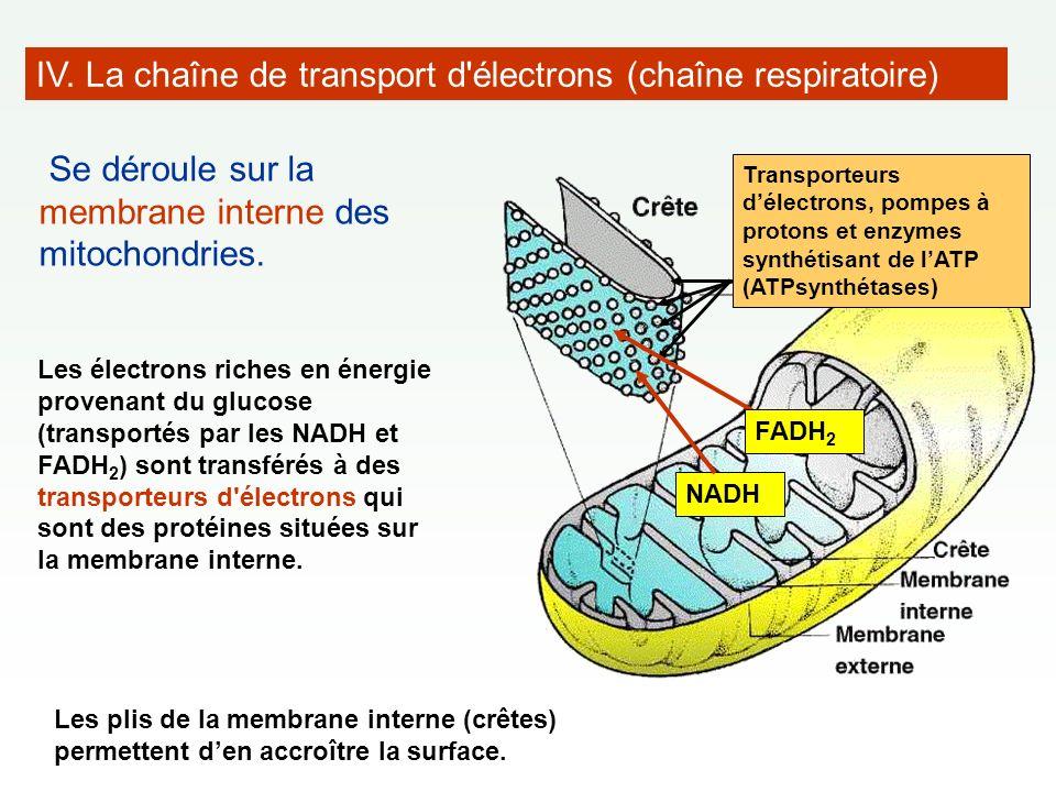 IV. La chaîne de transport d électrons (chaîne respiratoire)