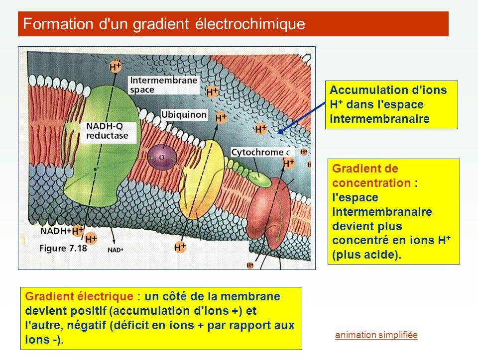 Formation d un gradient électrochimique