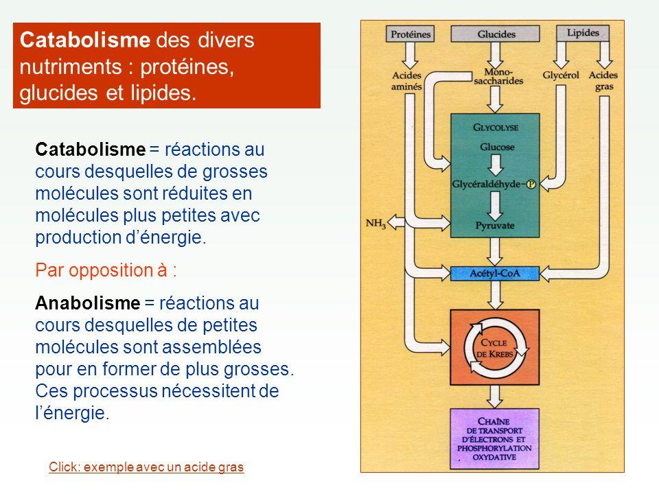 Catabolisme des divers nutriments : protéines, glucides et lipides.