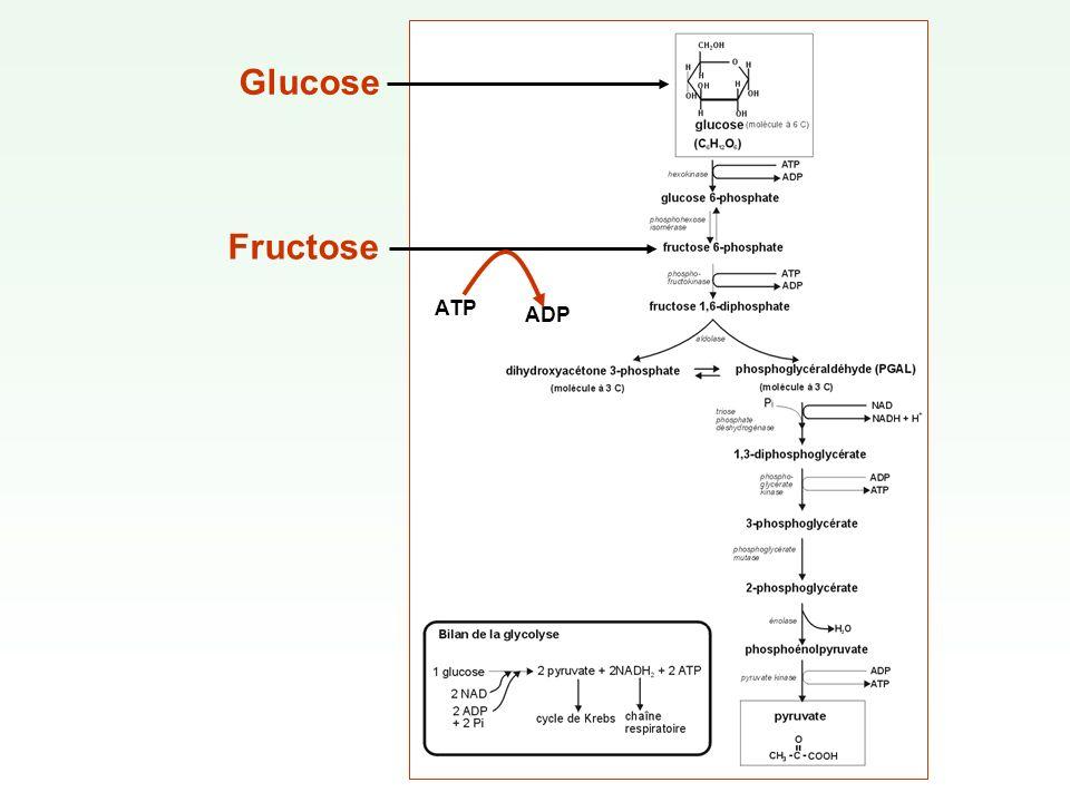 Glucose Fructose ATP ADP