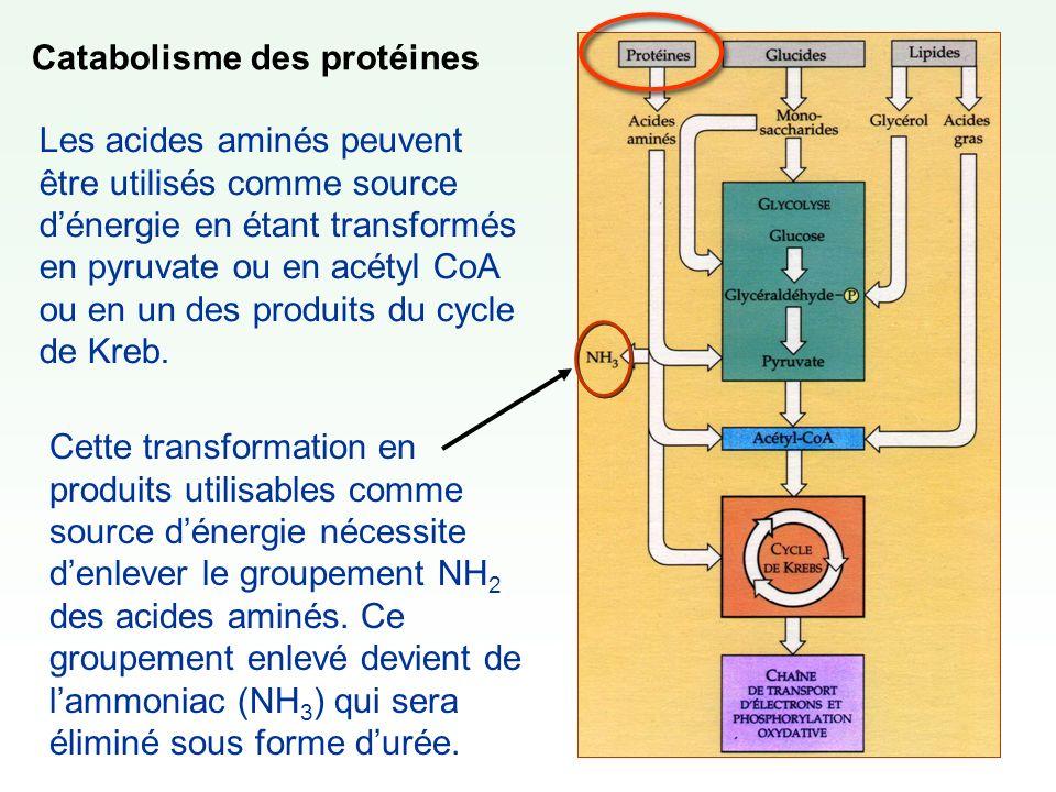 Catabolisme des protéines