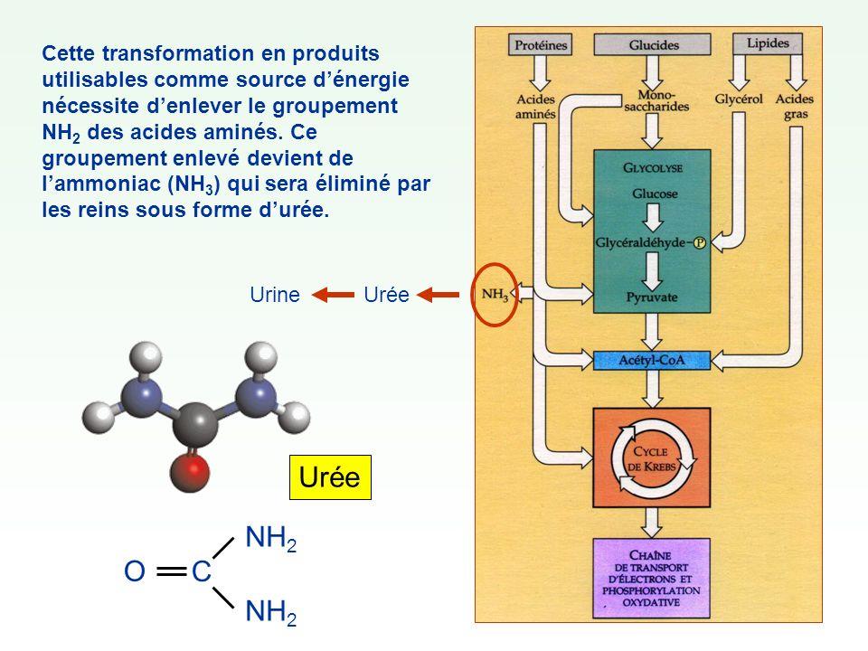 Cette transformation en produits utilisables comme source d'énergie nécessite d'enlever le groupement NH2 des acides aminés. Ce groupement enlevé devient de l'ammoniac (NH3) qui sera éliminé par les reins sous forme d'urée.