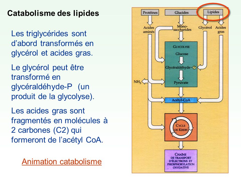 Catabolisme des lipides