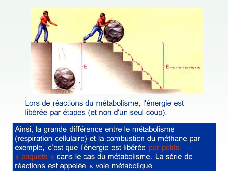 Lors de réactions du métabolisme, l énergie est libérée par étapes (et non d un seul coup).