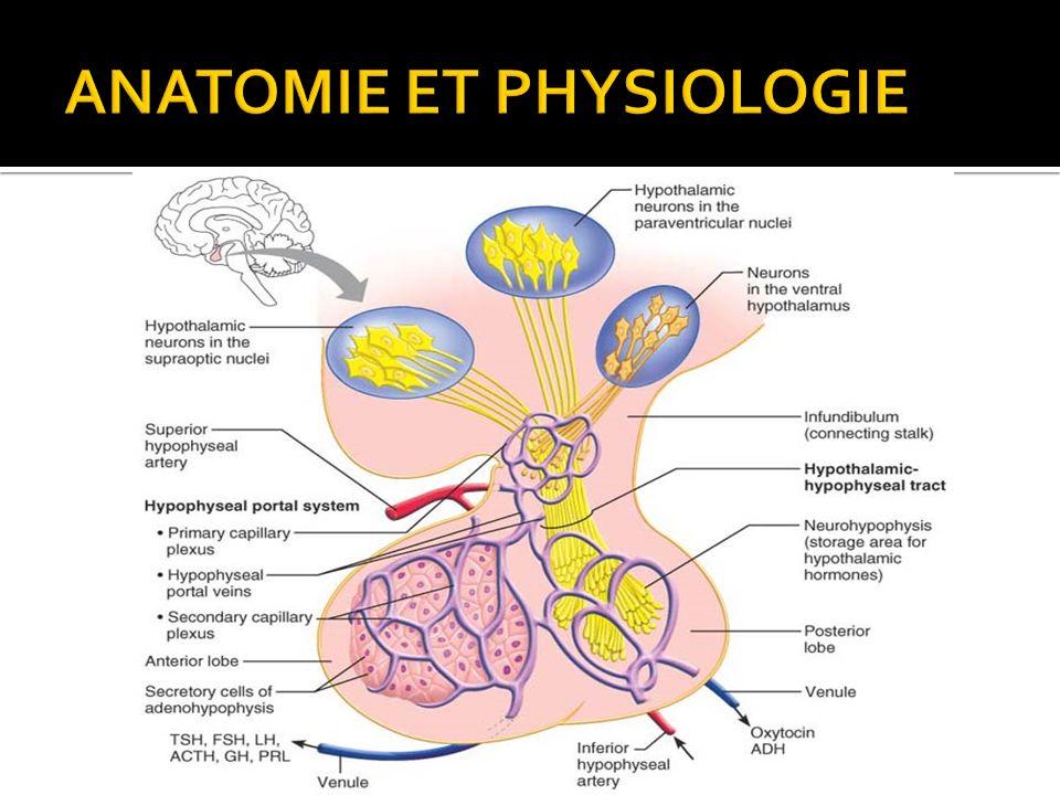 Niedlich Anatomie Des Thalamus Zeitgenössisch - Menschliche Anatomie ...