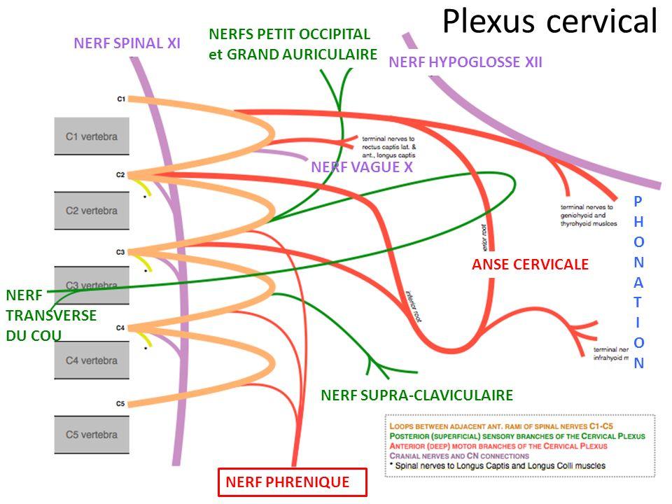 Plexus cervical NERFS PETIT OCCIPITAL NERF SPINAL XI