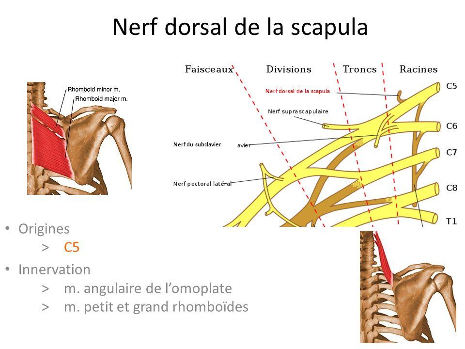 Nerf dorsal de la scapula