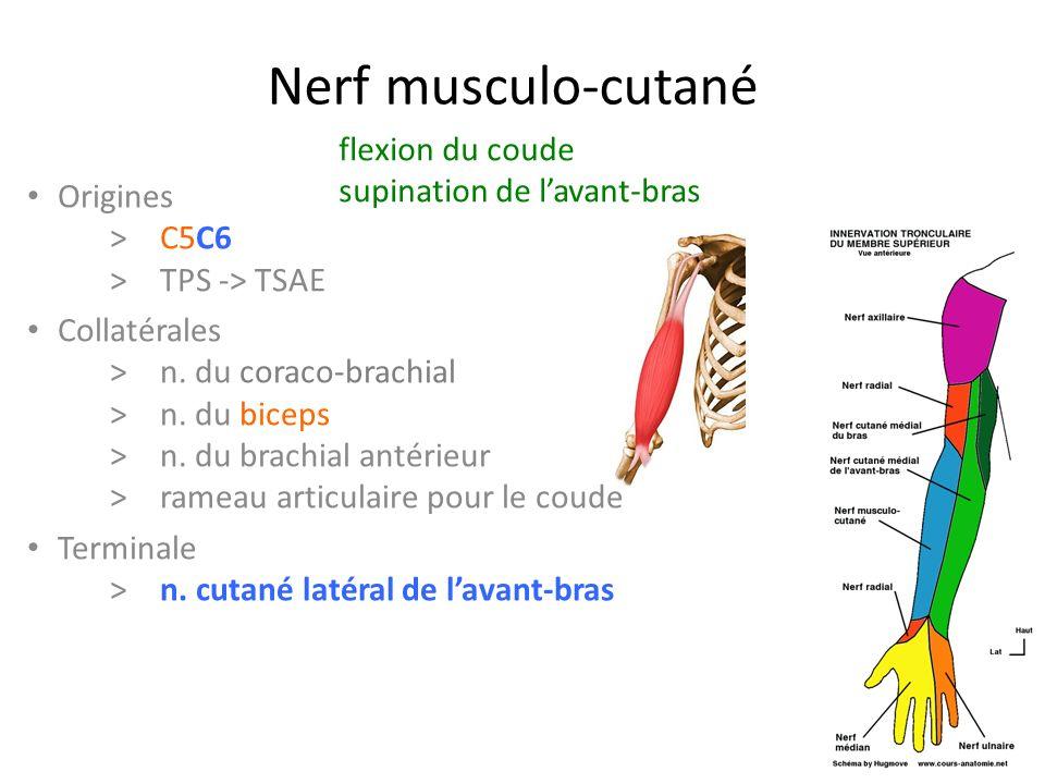 Nerf musculo-cutané flexion du coude supination de l'avant-bras