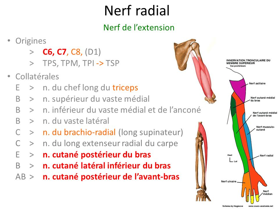 Nerf radial Nerf de l'extension